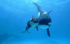 orca_killer_whale_under_sea-1280x800